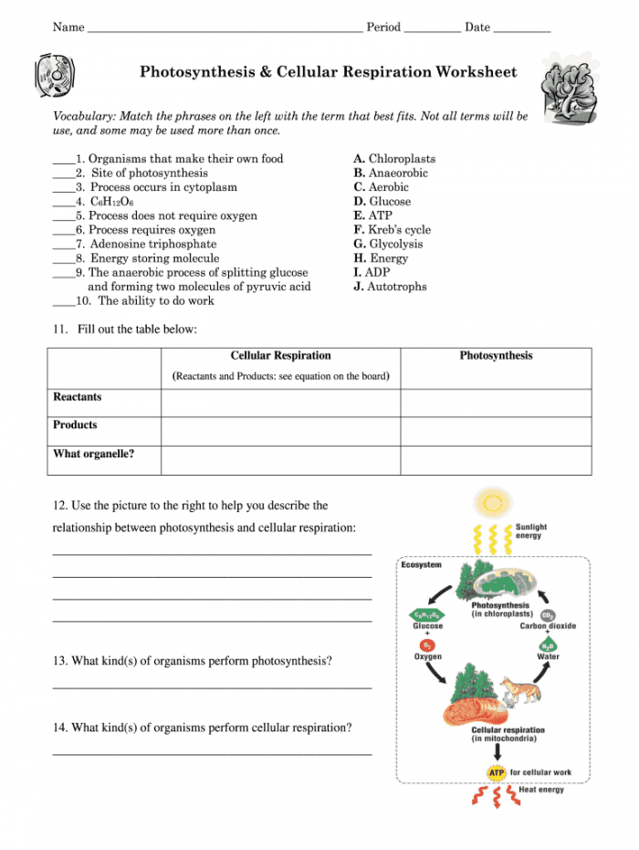 Photosynthesis Cellular Respiration Worksheet